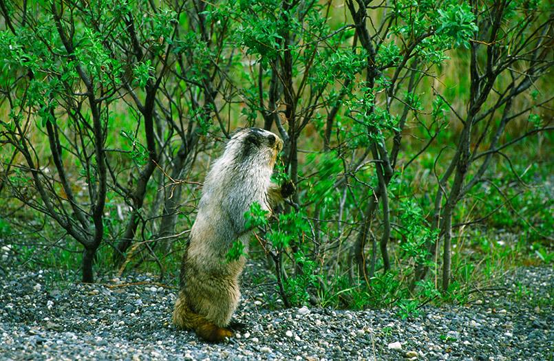 Wildes Alaska: Murmeltier im Denali-Nationalpark