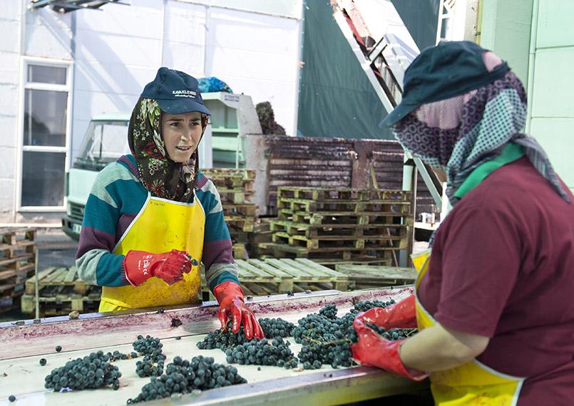 Das Prüfen der Trauben bis beim anatolischen Weingut Kavaklıdere Frauenarbeit.