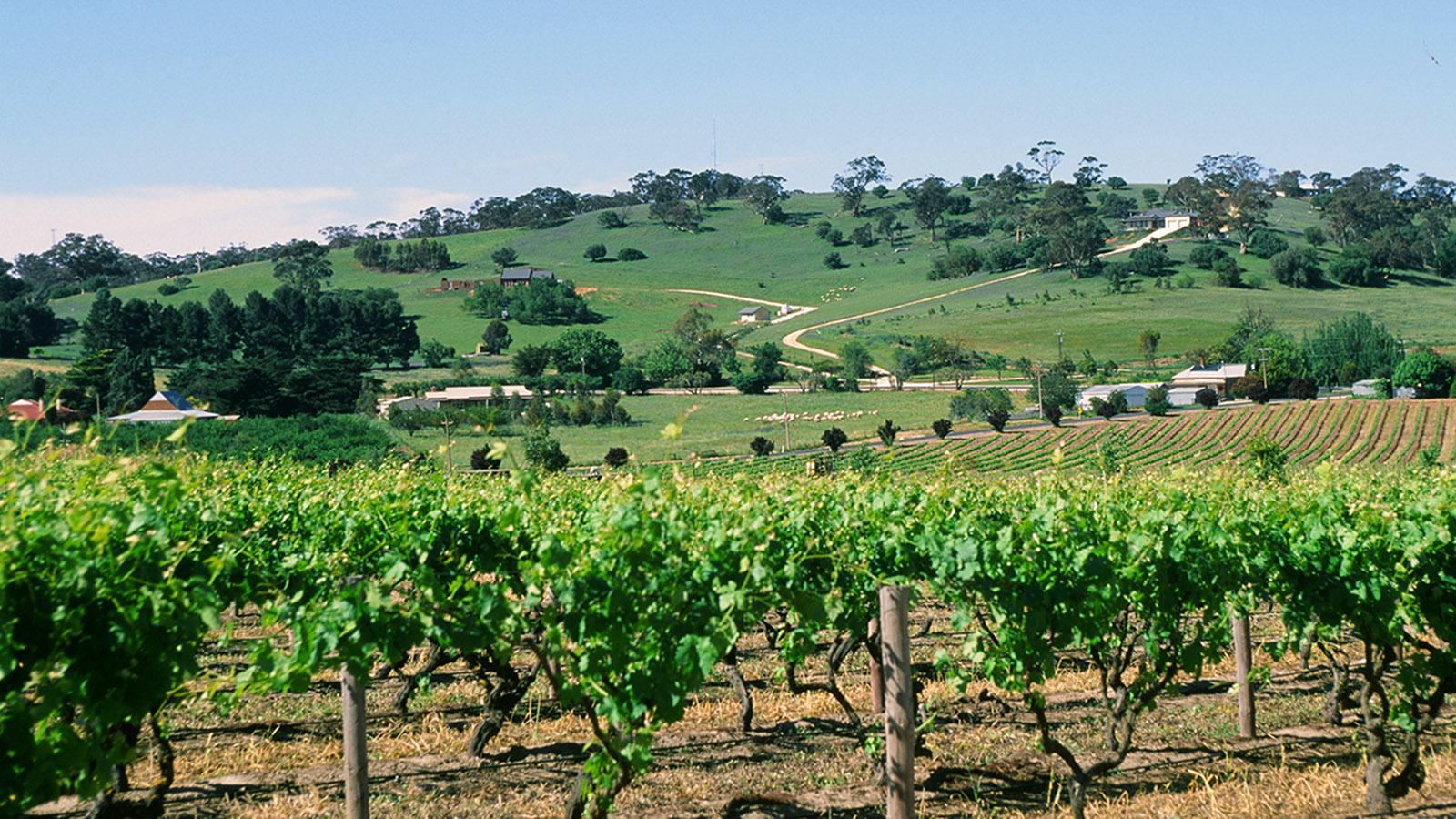 Südaustralien, Barossa Valley: die Weingärten von Chateau Yalumba. Foto: Hilke Maunder