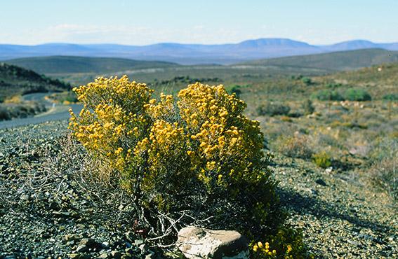 Südafrika/bei Matjiesfontain: Wüstenlandschaft der Great Karoo