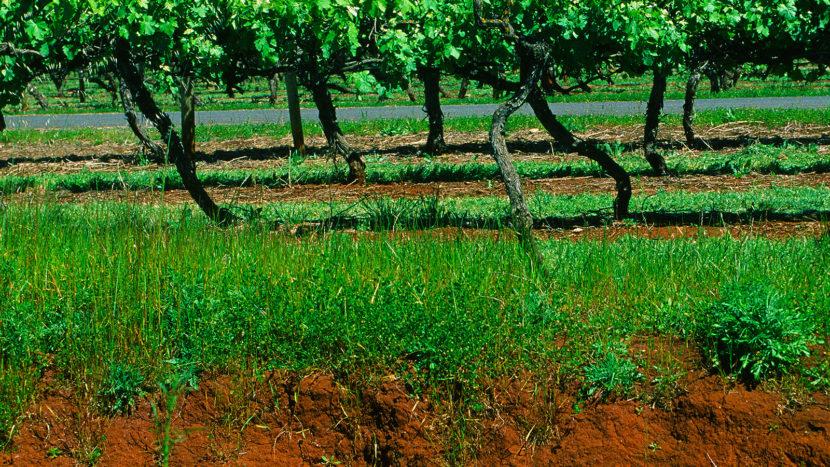 Chateau Hornsby. Grüne Blätter, rote Erde, dunkle Trauben: Shiraz. Foto: Hilke Maunder