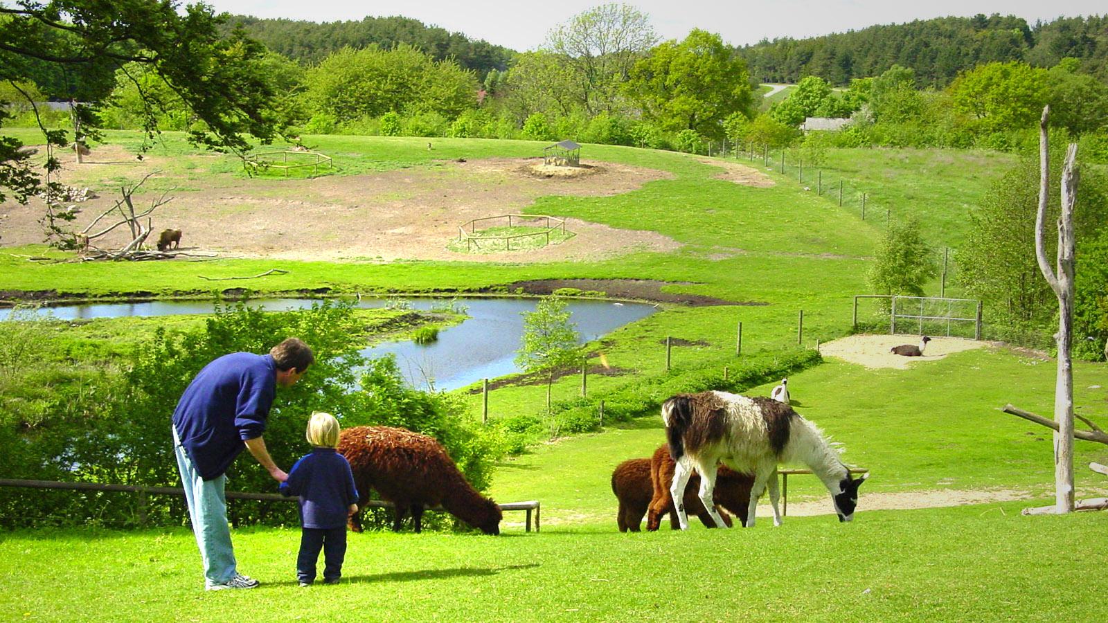 Südamerika in Djursland –im Ebeltoft-Zoo mit Lamas und Alapaka-Schafen. Foto: Hilke Maunder