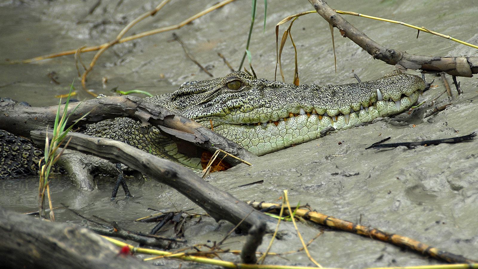 Kakadu Auch im Schlamm des East Alligator River versteckt es sich: das Salzwasserkrokodil. Foto: Hilke Maunder