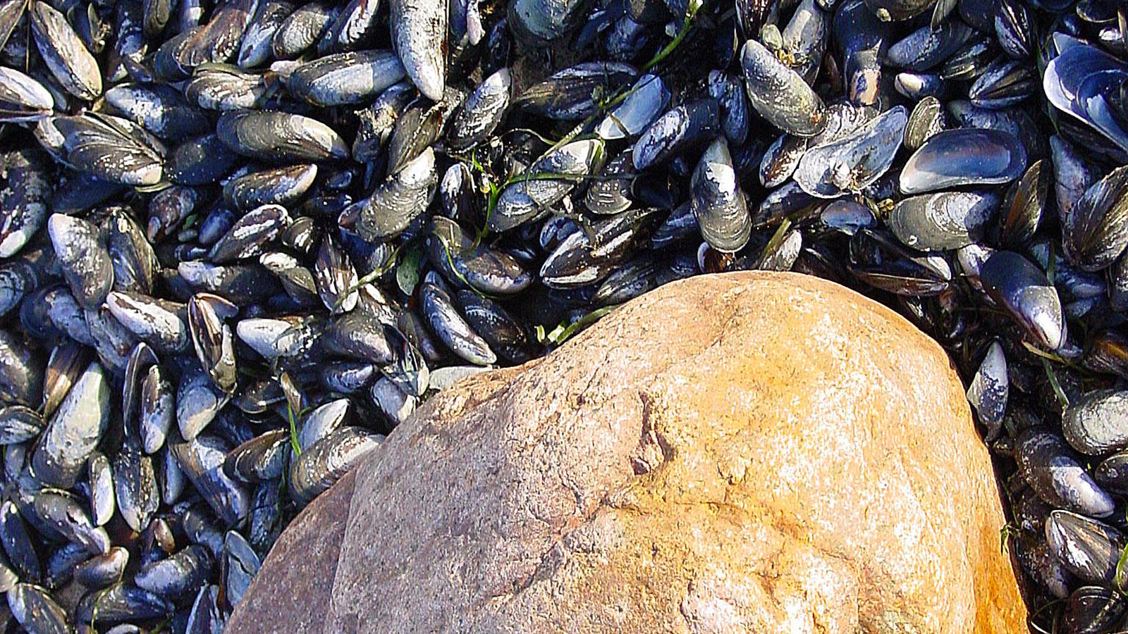 Granit und Miesmuscheln - das omnipräsente Duo an der Ostseeküste des OFL. Foto: Hilke Maunder