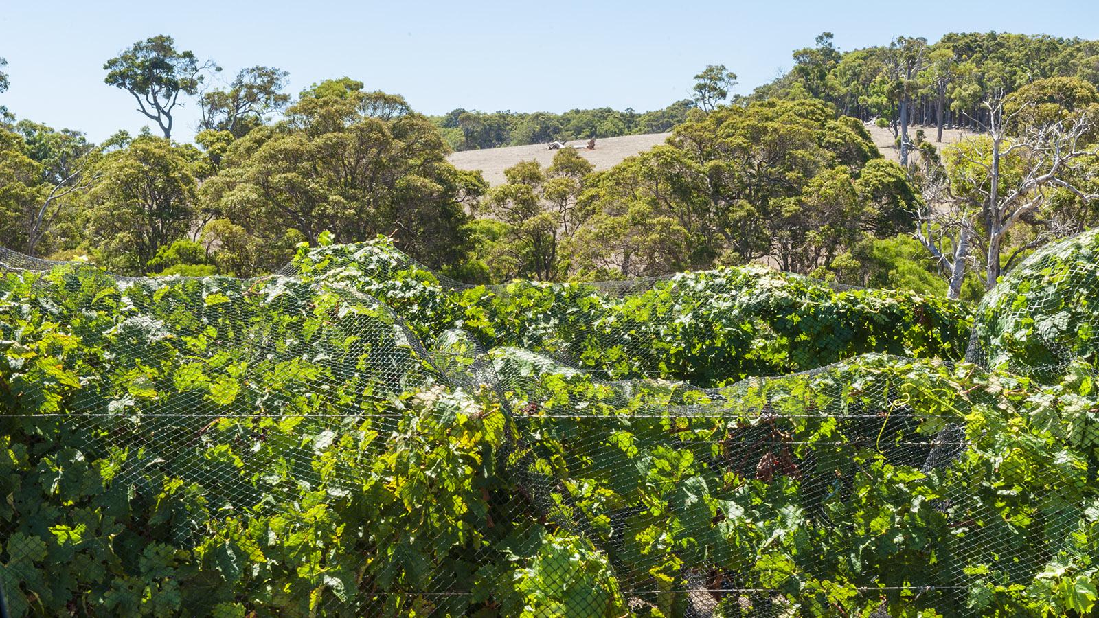 Ostküste: Netze schützen die Trauben vor den Vögel. Foto: Hilke Maunder