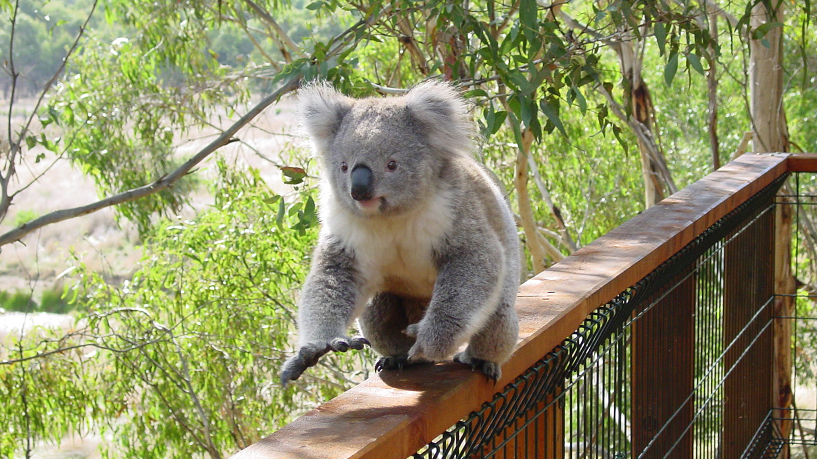 Sydney-Melbourne Coastal Drive: Im Koala Sanctuary laufen die Koalas frei auf der Balustrade umher. Foto: Hilke Maunder