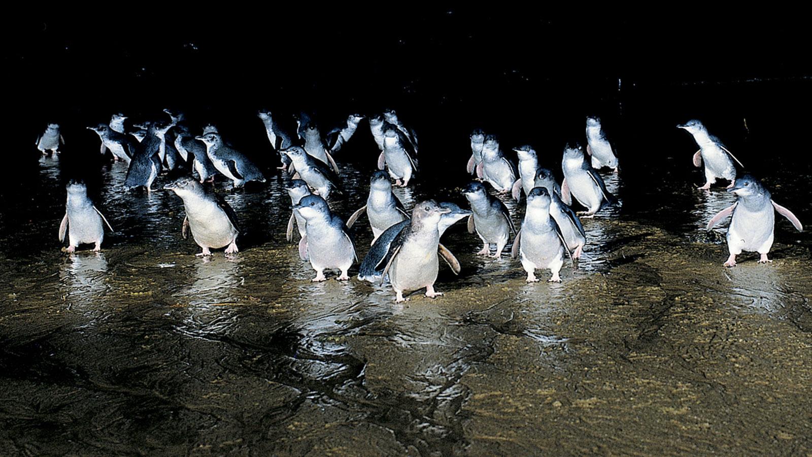 Sydney-Melbourne Coastal Drive. Die weltkleinsten Pinguie watscheln abends auf Phillip Island auf den Strand. Foto: Tourism Phillip Island/Pressebild