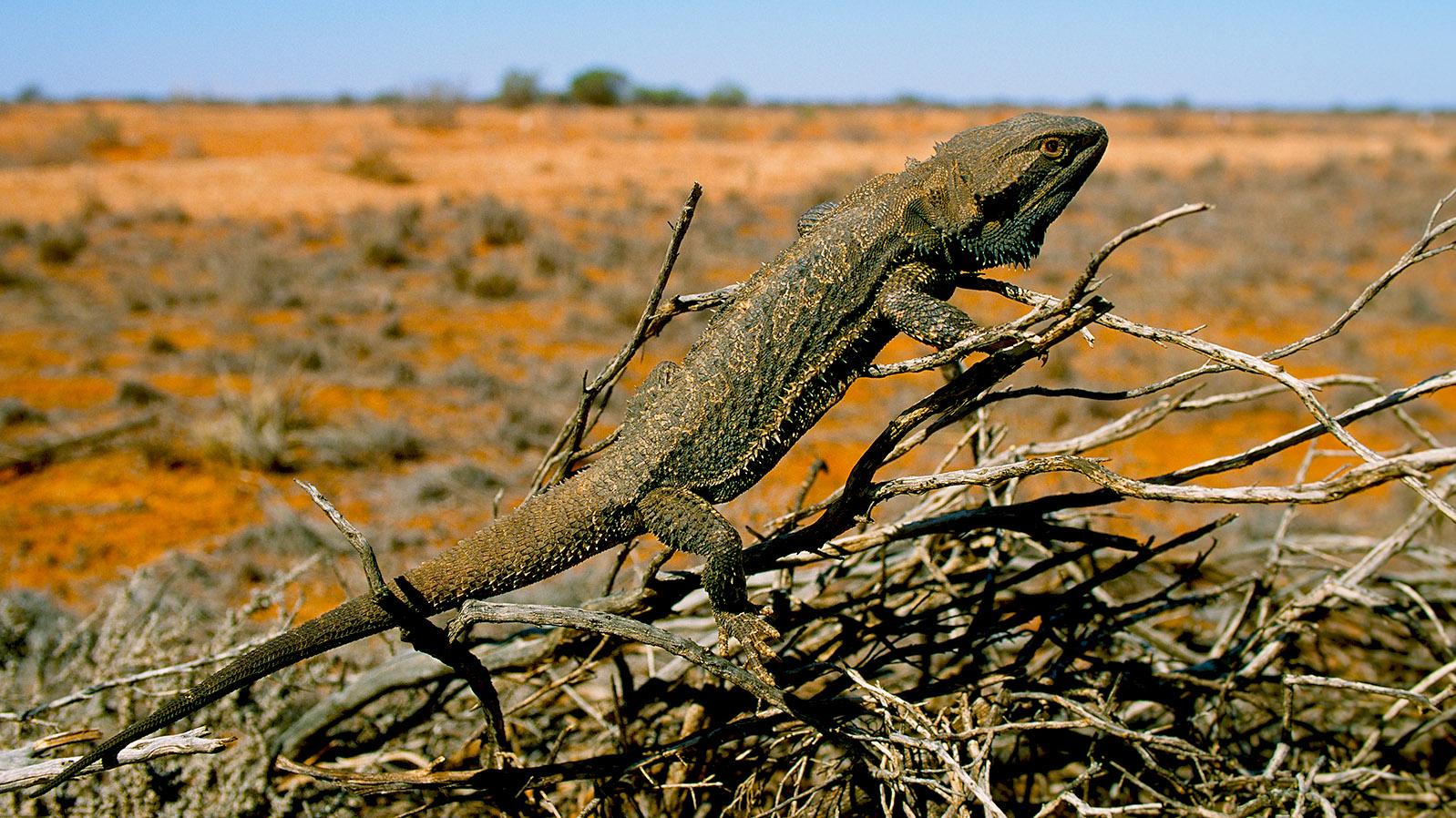 Tierische Begegnung im Outback mit einem Frilled Neck Lizard. Foto: Hilke Maunder