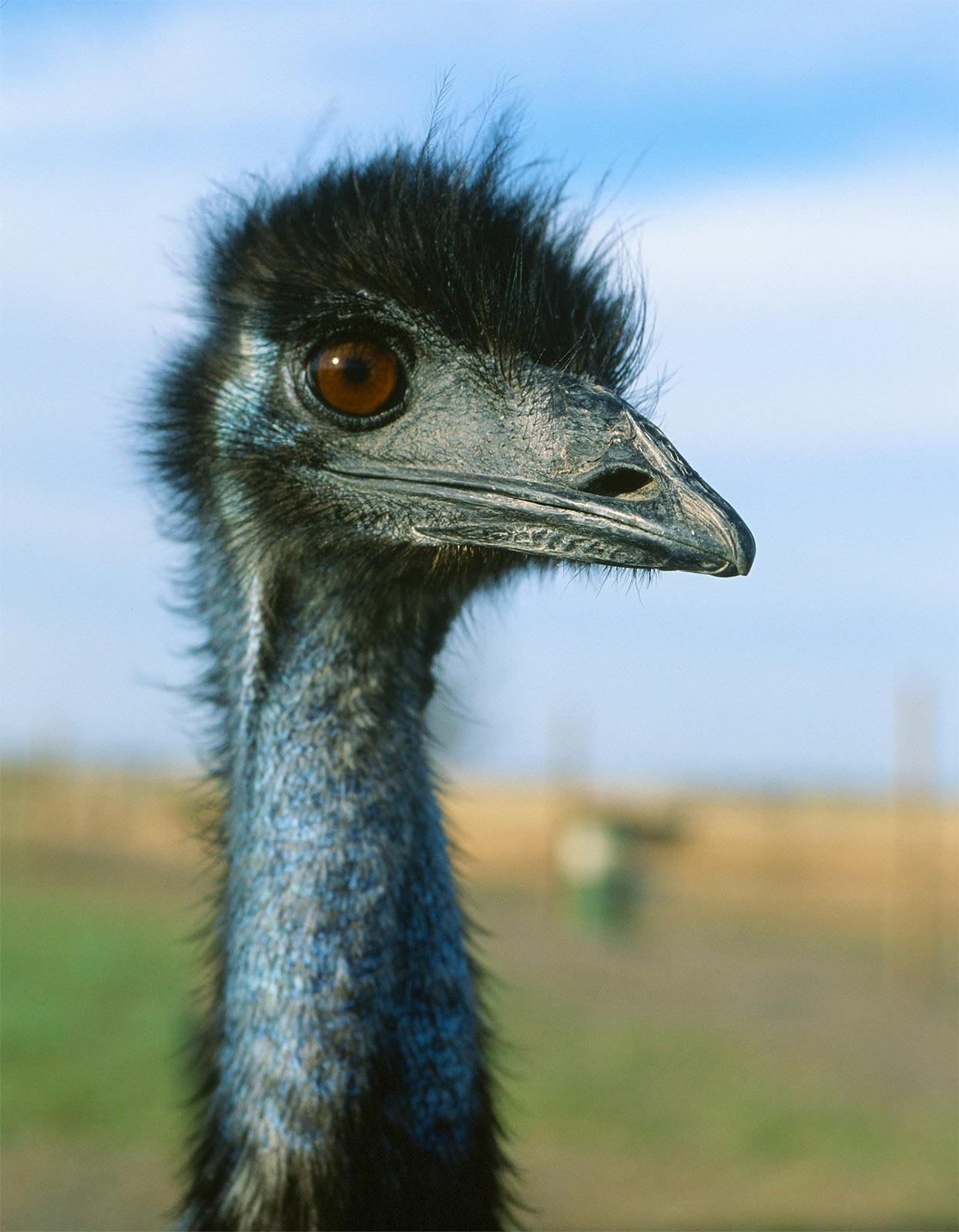 Begegnung in den Grampians: ein Emu. Foto: Hilke Maunder