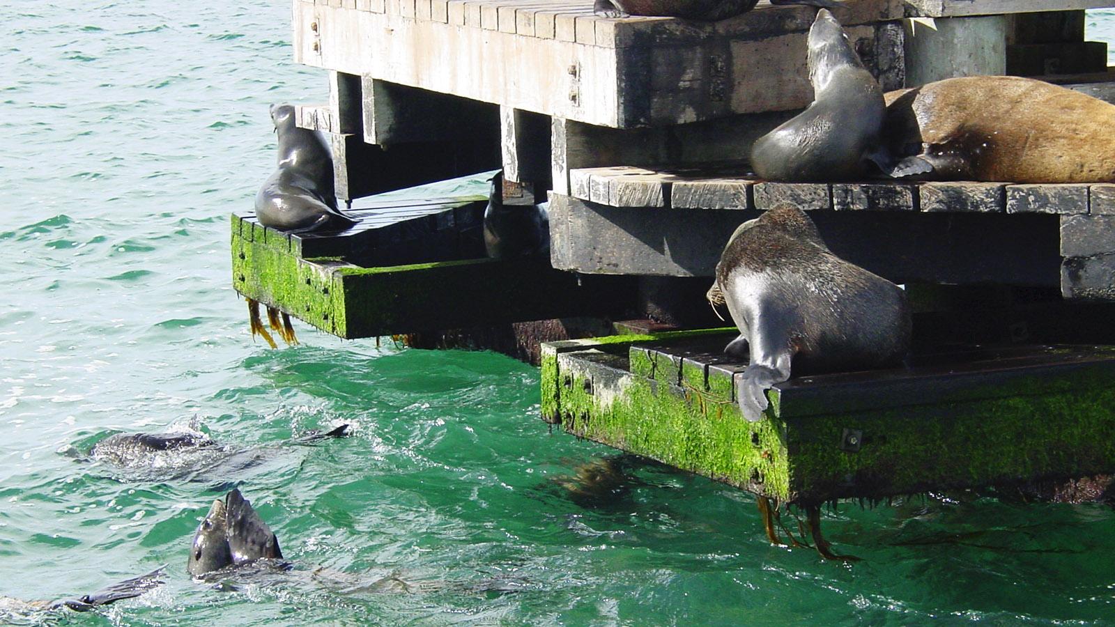 Mornington Peninsula: Künstlich angelegter Rastplatz für Robben bei Sorrento. Foto: Hilke Maunder