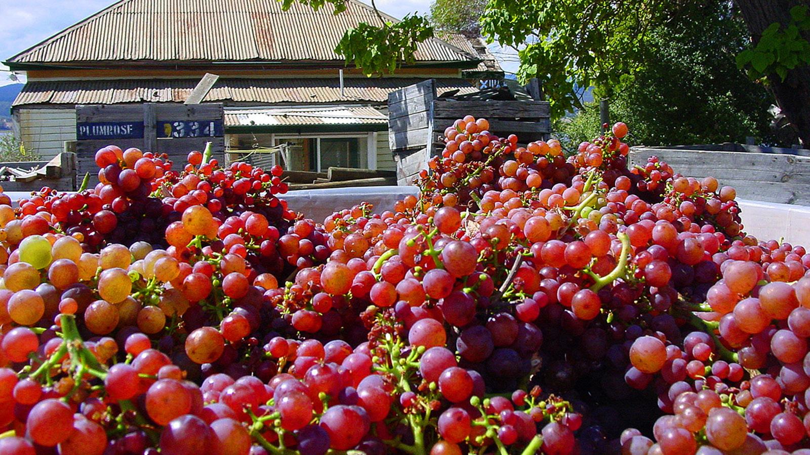 Tasmanien: St. Matthias Vineyard: Pinot-Noir-Ernte. Foto: Hilke Maunder