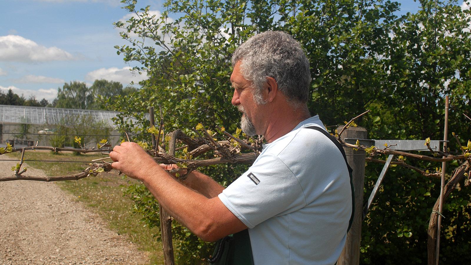Dansk VinCenter: Jørgen Hinsch bei der Arbeit im Weinberg. Foto: Hilke Maunder