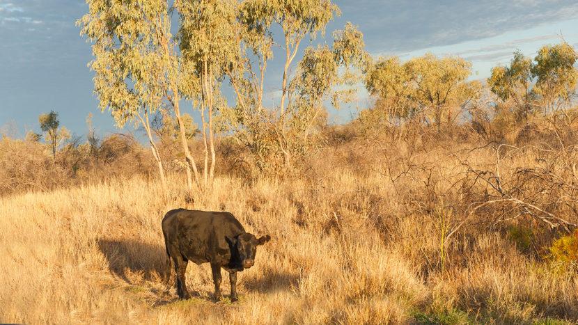 Jagen in Australien: In Queensland werden auch verwilderte Rinder gejagt. Foto: Hilke Maunder