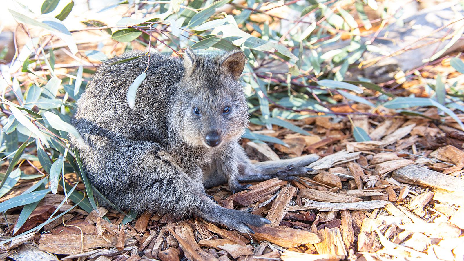 Viele der australischen Beutelnager findet ihr im Australia Zoo. Foto: Hilke Maunder