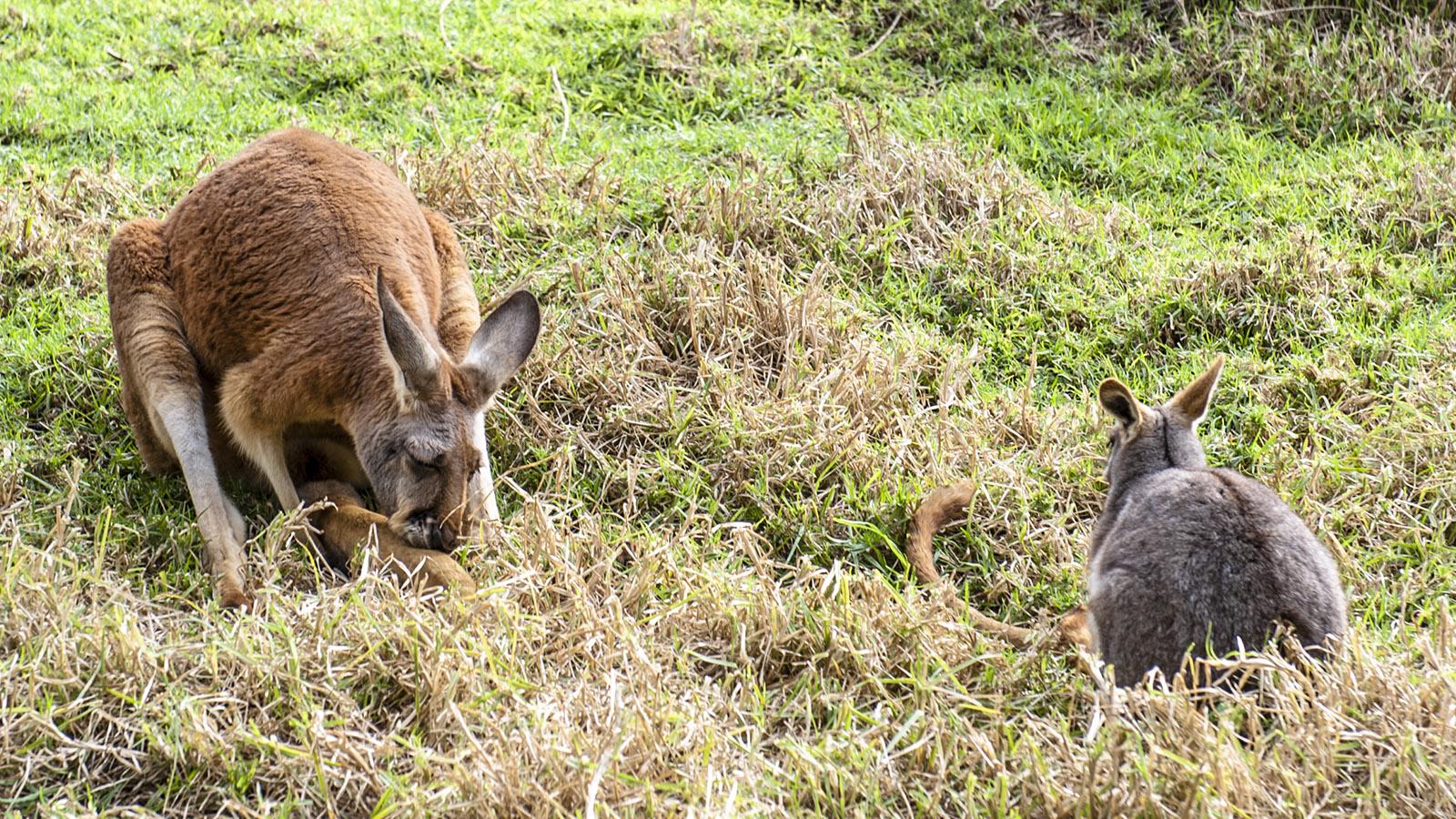 Australia Zoo: Kängurus - die Wappentiere des 5. Kontinents