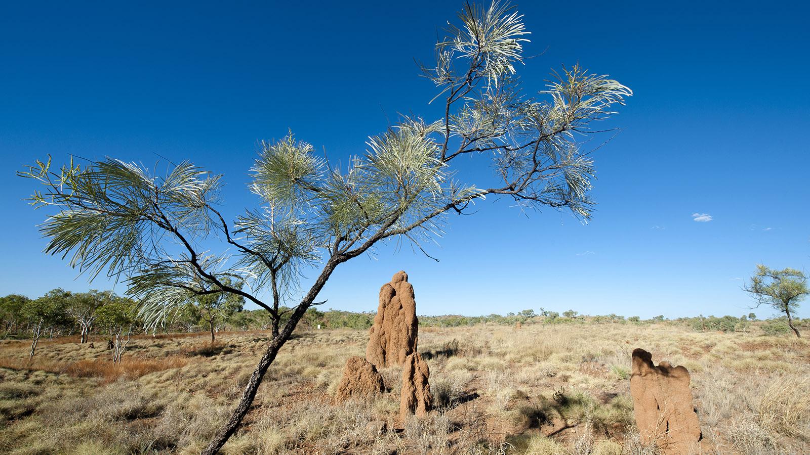 Kimberley: Mannshoch werden die Termiten im Busch von Halls Creek. Foto: Hilke Maunder