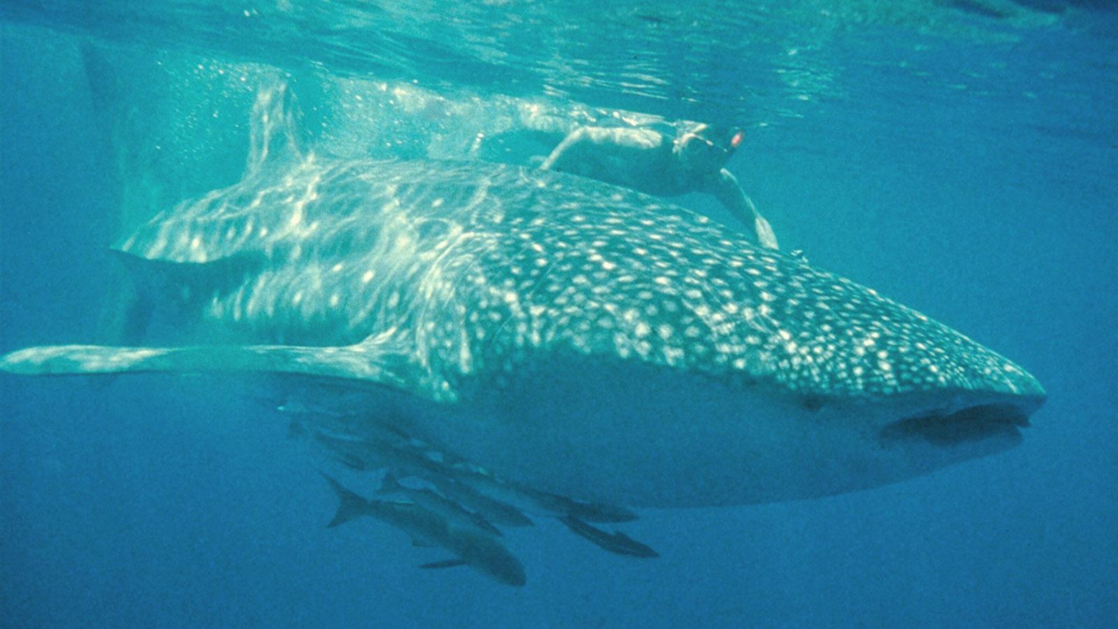 Coral Coast: Unvergesslich: tauchen und schnorcheln mit den Walhaien vom Ningaloo Reef. Foto: Tourism Western Australia.