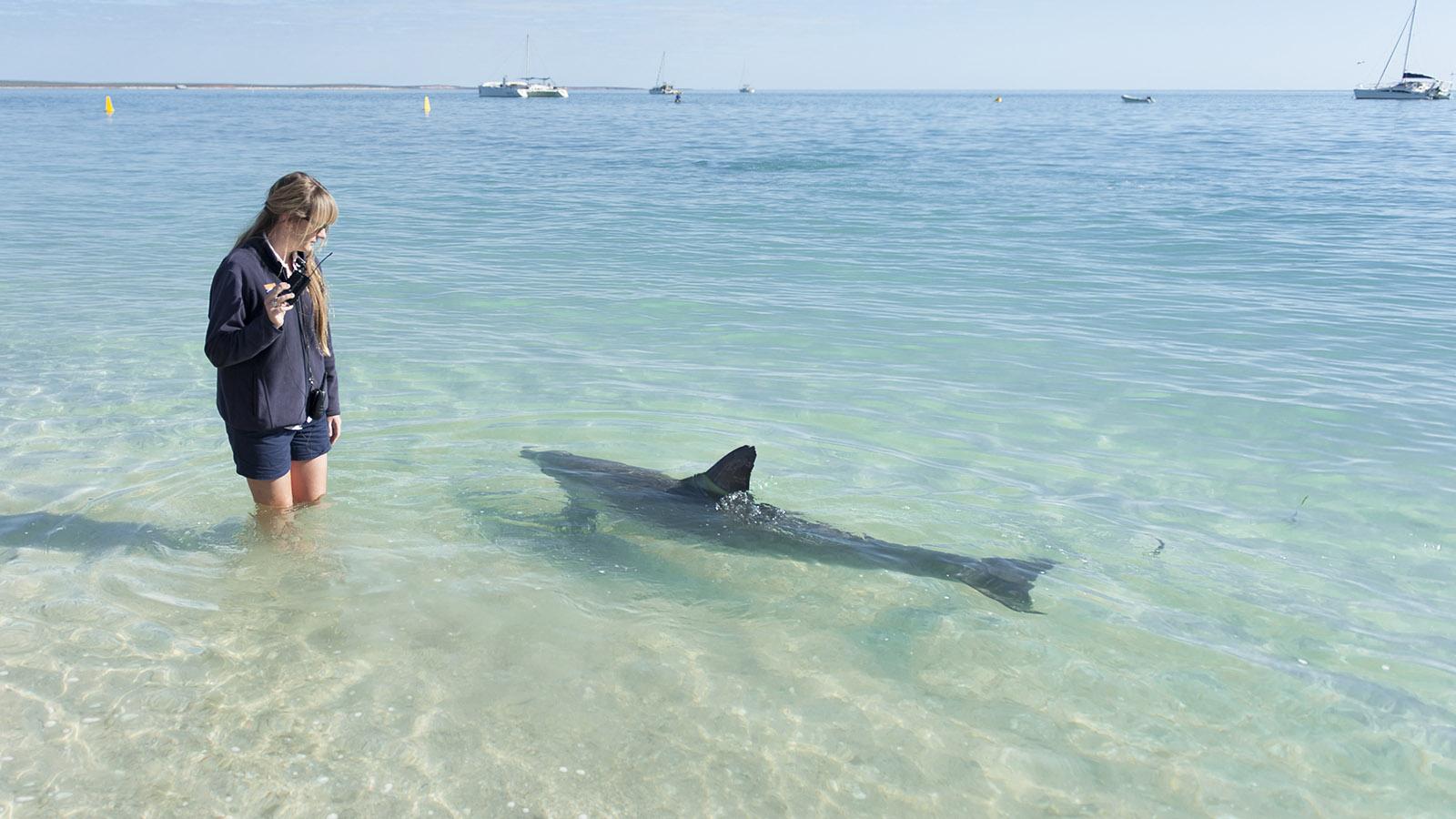 Coral Coast: Staatliche Naturschutz-Guide präsentieren tagtäglich mehrmals die Delfine von Monkey Mia. Foto: Hilke Maunder