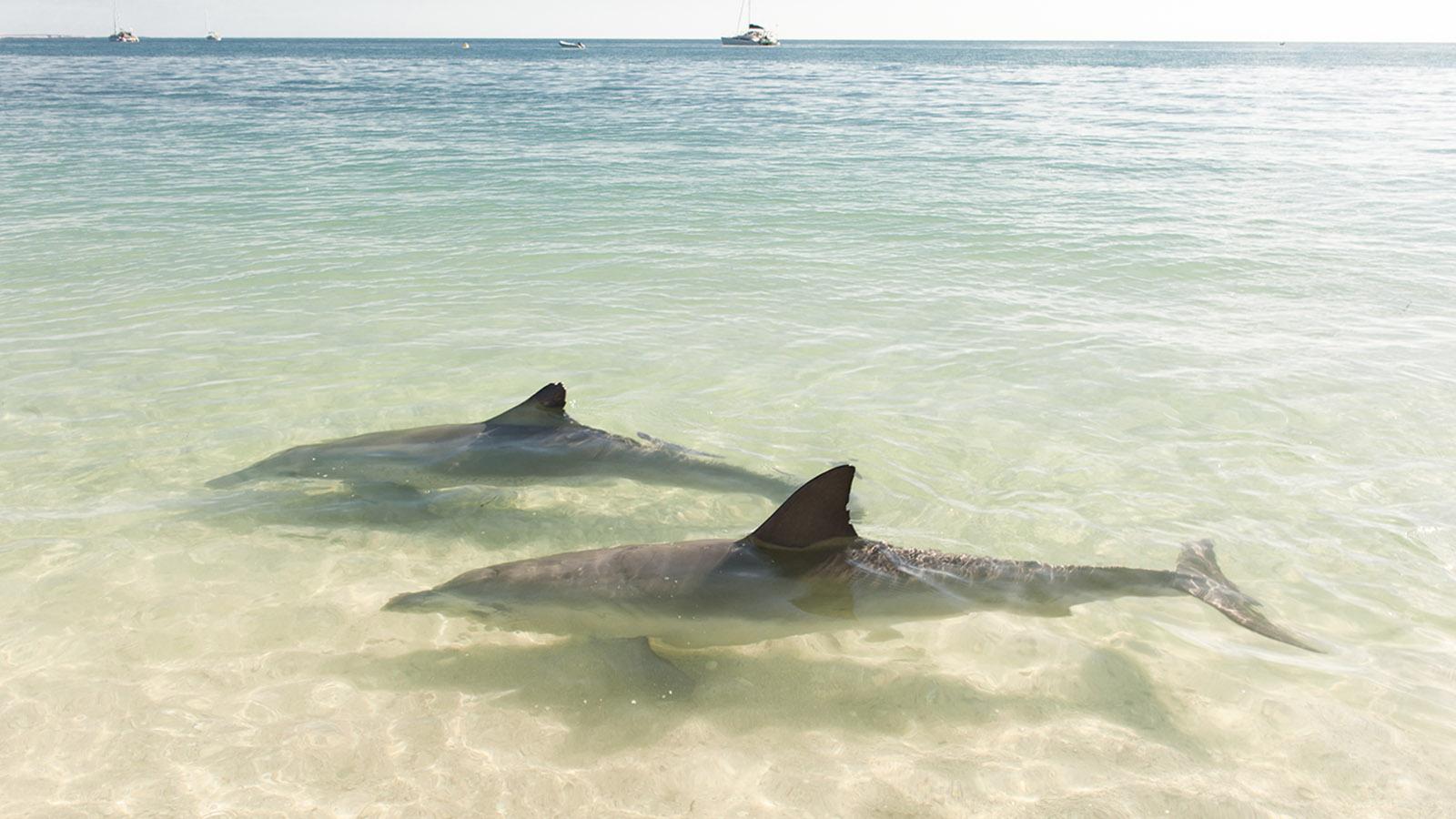 Coral Coast, Die halbwilden Delfine von Monkey Mia. Foto: Hilke Maunder