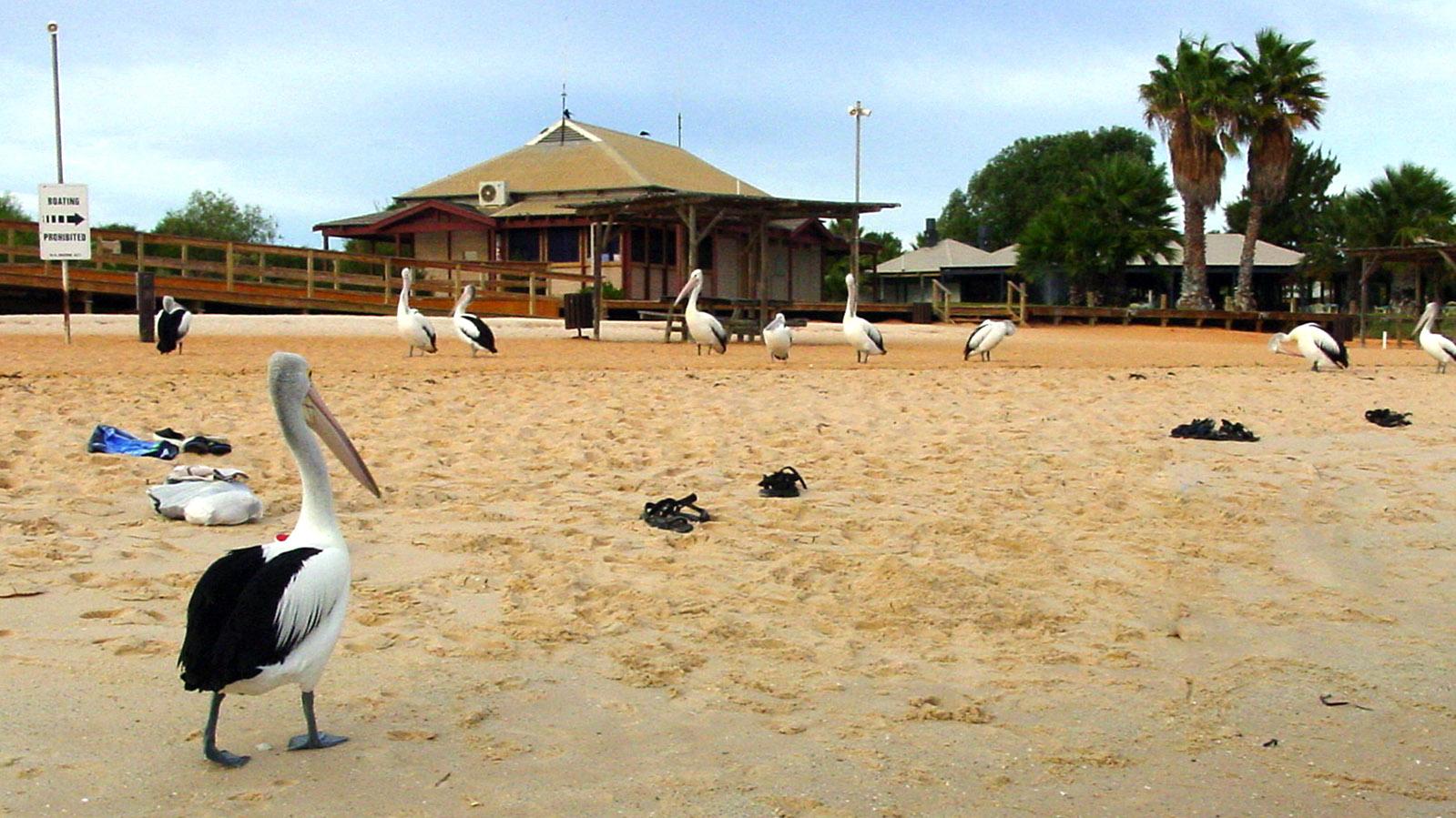 Shark Bay: Frühmorgens bevölkern Pinguine den Strand von Monkey Mia. Foto: Hilke Maunder
