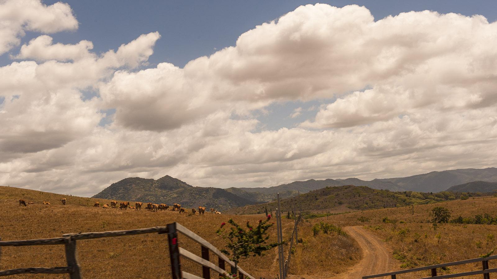Neukaledonien: Brahmousin-Rinder, gekreuzt aus Brahman- und Limousin-Rindern, weiden im Westen von Grande Terre. Foto: Hilke Maunder