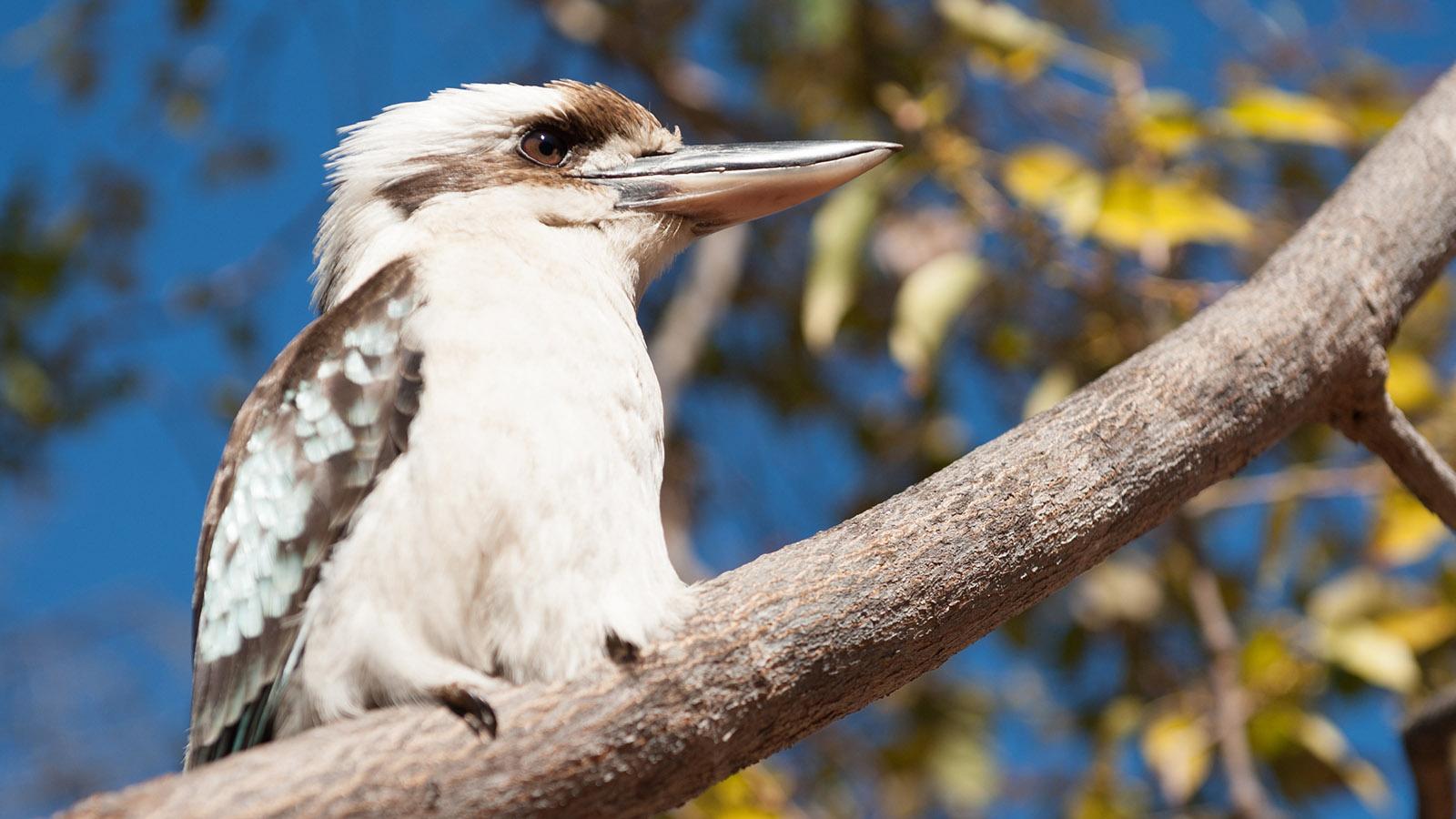 """""""Lachender Hans"""" der Australia Zoo: der Kookaburra. Foto: Hilke Maunder"""