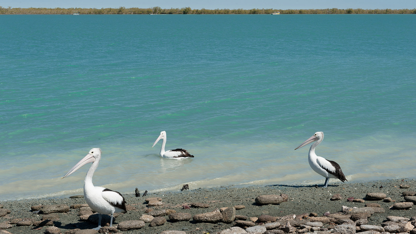 Konkurrenz für Angler in Karumba: die Pelikane vom Norman River. Foto: Hilke Maunder