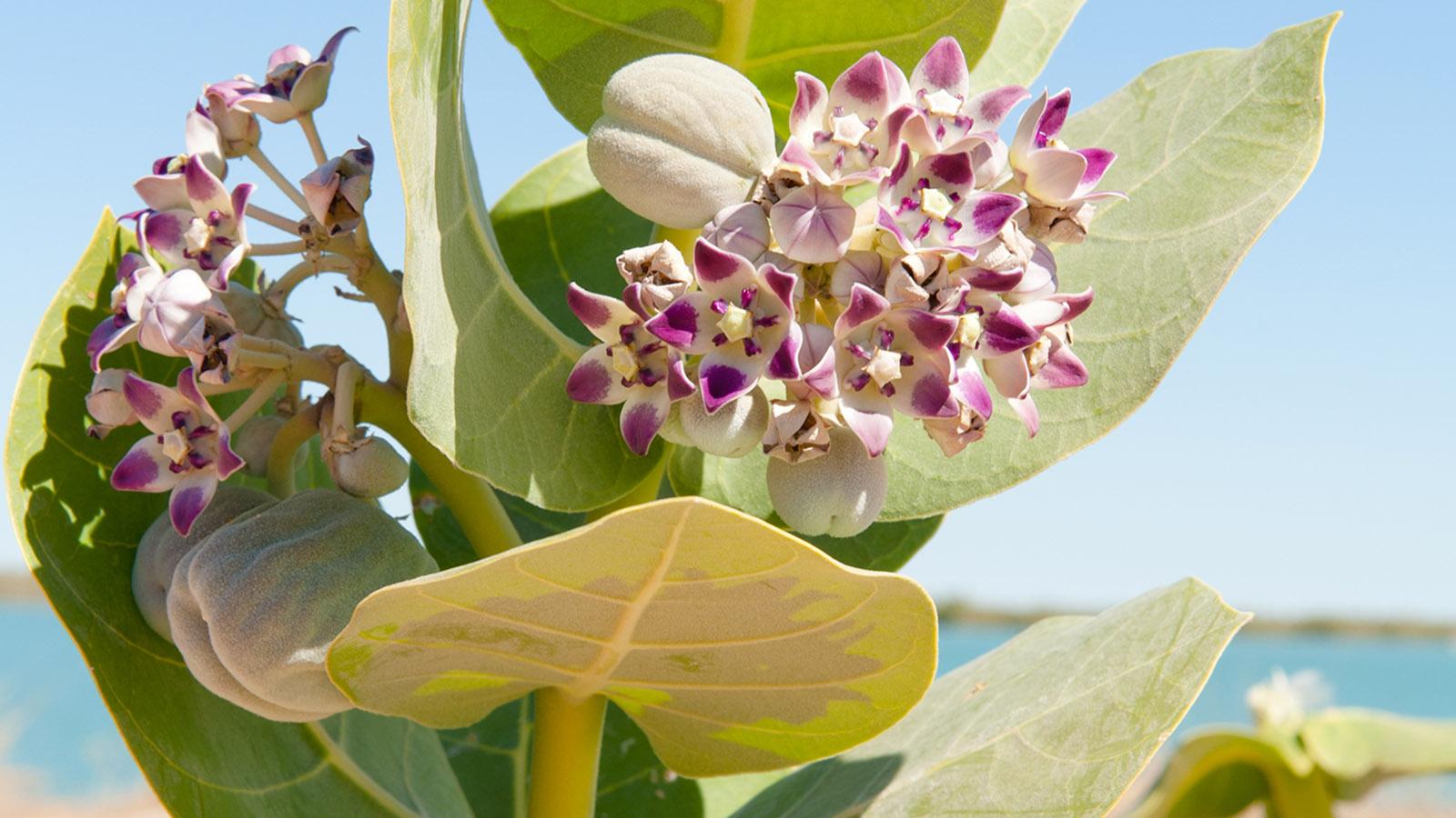 Exotische Blüte am Norman River von Karumba. Wer verrät mir, um welche Pflanze es sich handelt? Foto: Hilke Maunder