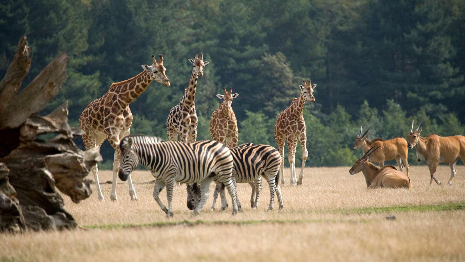 Giraffen und Zebras leben in der afrikanischen Savanne von Knuthenborg. Foto: Knuthenborg Safaripark