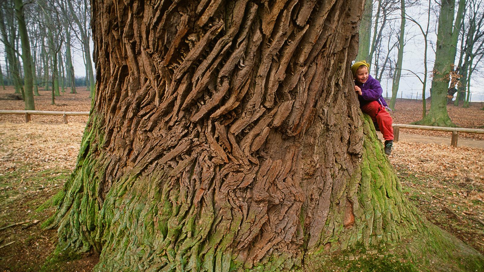 Wildes Mecklenburg, Ivenack: eine der uralten Eichen. Foto: Hilke Maunder