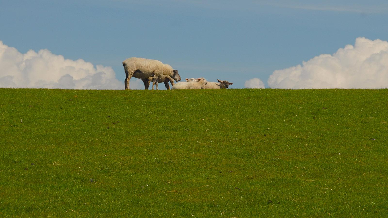 Schafe werden zur Deichpflege auf allen nordfriesischen Inseln eingesetzt. Foto: Hilke Maunder