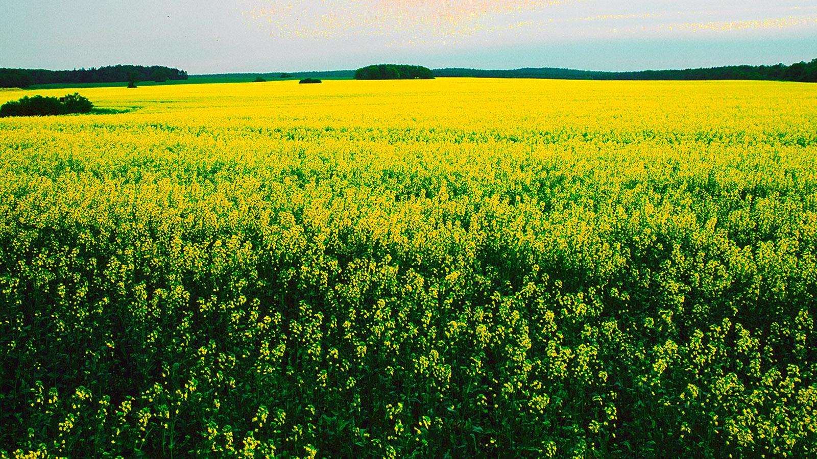 Wildes Mecklenburg; Gelb bis an den Horizont: ein Raptsfeld bei Rogeez. Foto: Hilke Maunder