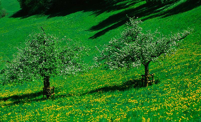 Vaduz: Streuobstwiese im Apfelbäumen im Frühling (beim Fürstenschloss)