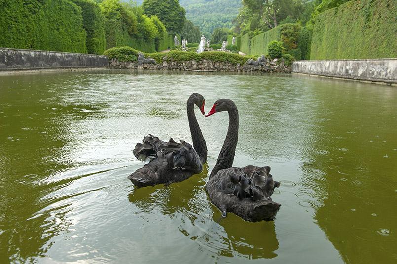 Schwarze Schwänen - gesehen in den Gärten der Villa Barbarigo