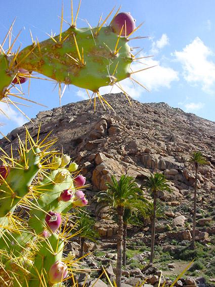 E/Kanaren/Fuerteventura/Betancuria/ Barranco de la Penitas:Feigenkaktus (Opuntie).