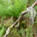 Tasmanien, Flechten sind Indikatoren für reine Luft. Foto: Hilke Maunder