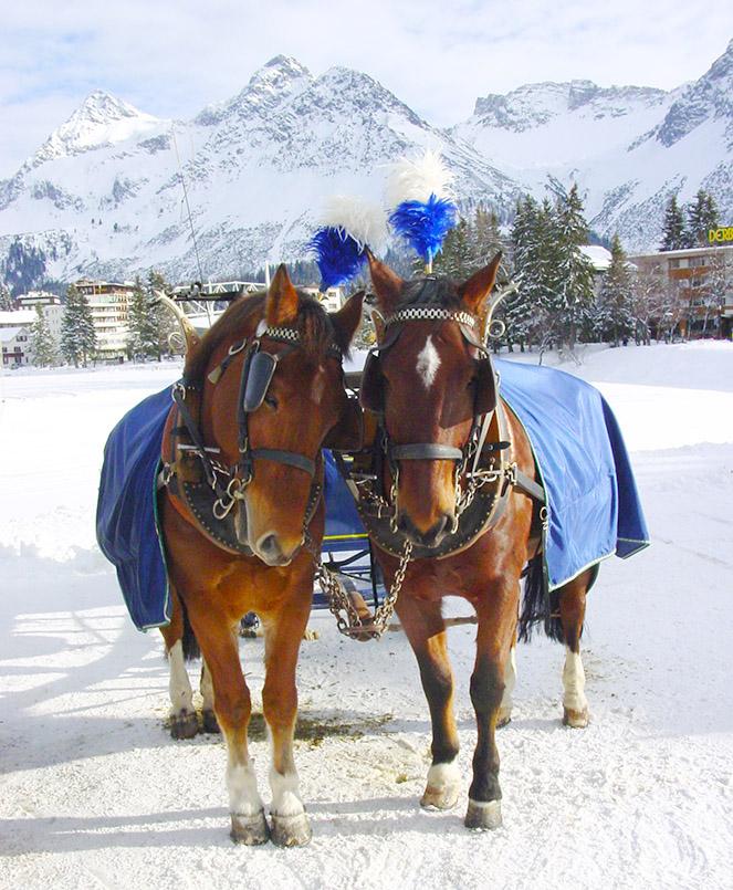Arosa: Auf dem Bahnhofsvorplatz warten Pferdekutschen auf Gäste. Hier: zwei Kutschpferde in Schmuckgeschirr.
