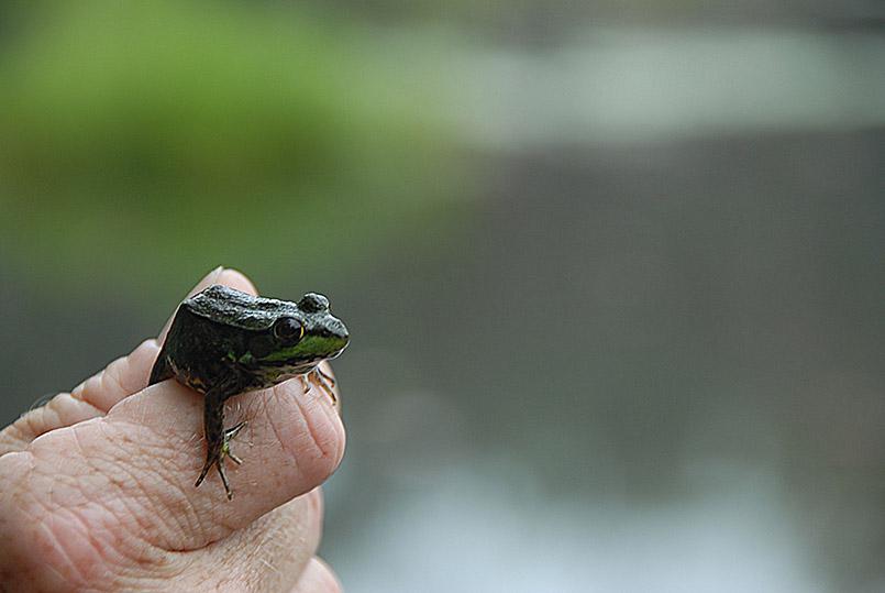 Frosch, gefunden am Ufer von Lake Rosseau in Muskoka