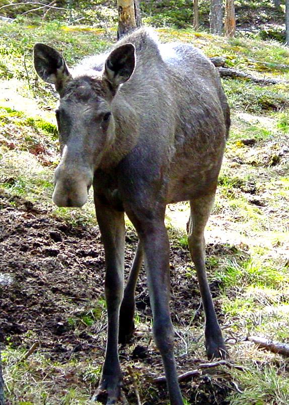 Seltene Begegnung im Wald: eine Elch-Kuh
