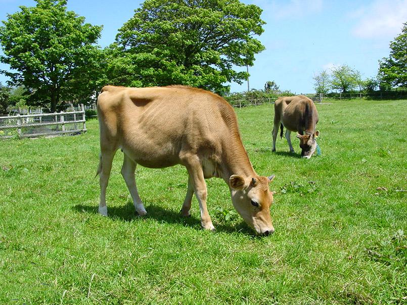 La Mare Winery: Jersey Cows.