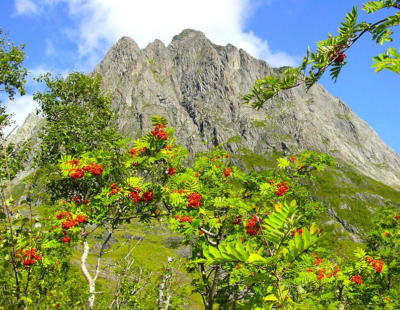 unnmøre/Kvanndalen. Wanderung zur Standalssetra, Almgelände unterhalb der Bergspitze Kolåstinden ( 1.432m). Hier:Vogelbeeren leuchten in der Herbstsonne vor den Bergspitzen aus verwittertem Gneis.