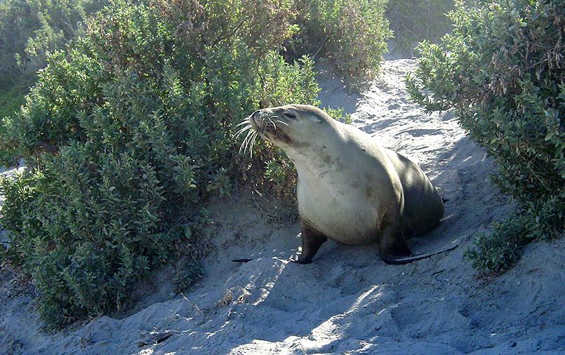 Kangaroo Island: Seal Bay. Austrl. Seelöwen jagen drei Tage im Meer und ruhen sich drei Tage am Strand aus.