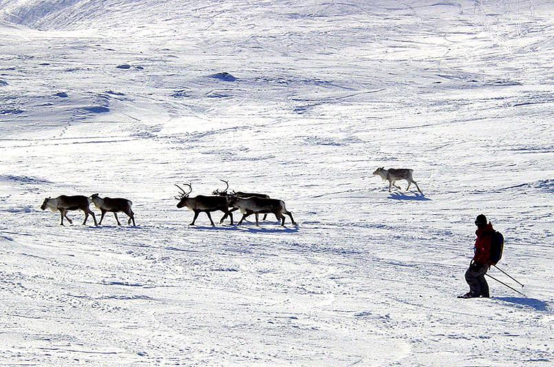 MItten im Skigebiet am Areskutan-Gipfel (1.420 Meter) - Rentiere.