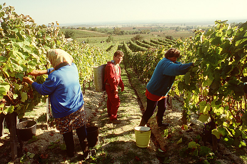 Ungarn: Lese in den Weinbergen von Disnókó bei Tokaj.