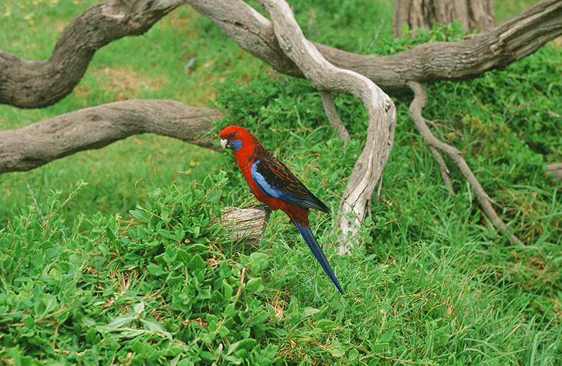 Wilsons Promontory/bei Tiday River: Crimson Rosella