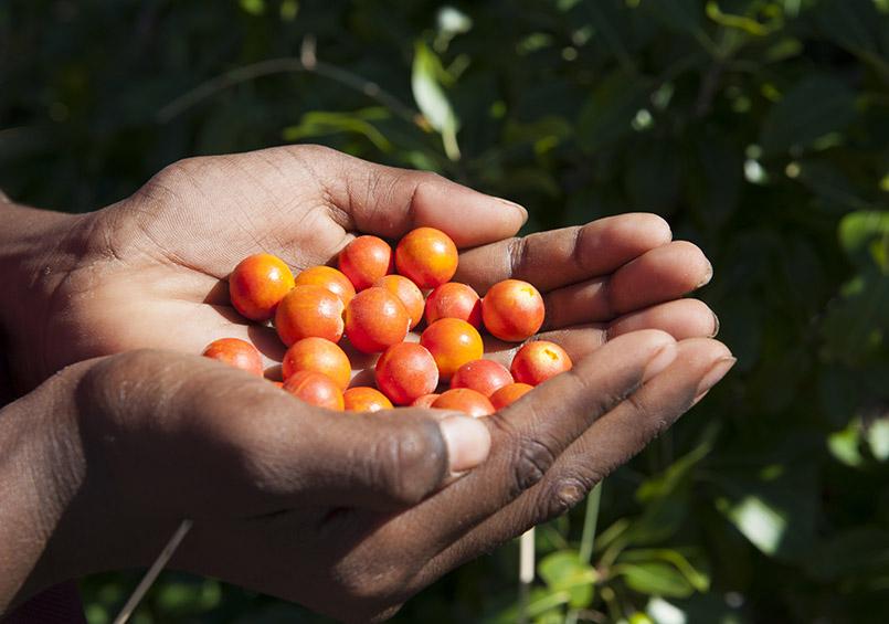 Beeren aus dem Busch: allerbestes Bush Tucker