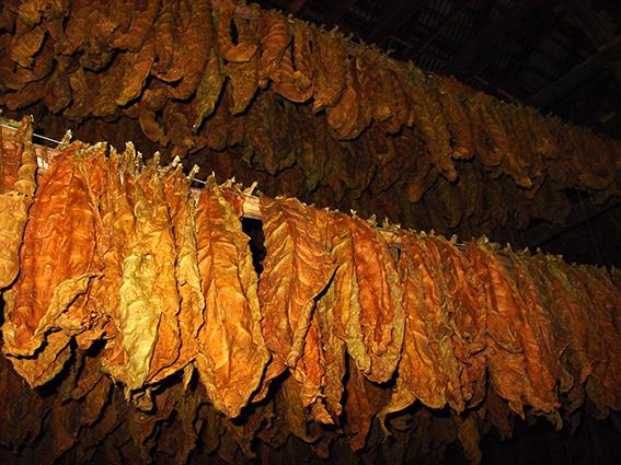 Kuba/Vale de Viñales: Tabak in der Trockenscheune