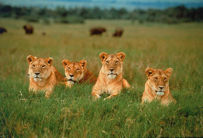 Südafrika: Löwen. Pressebild Hapag Lloyd